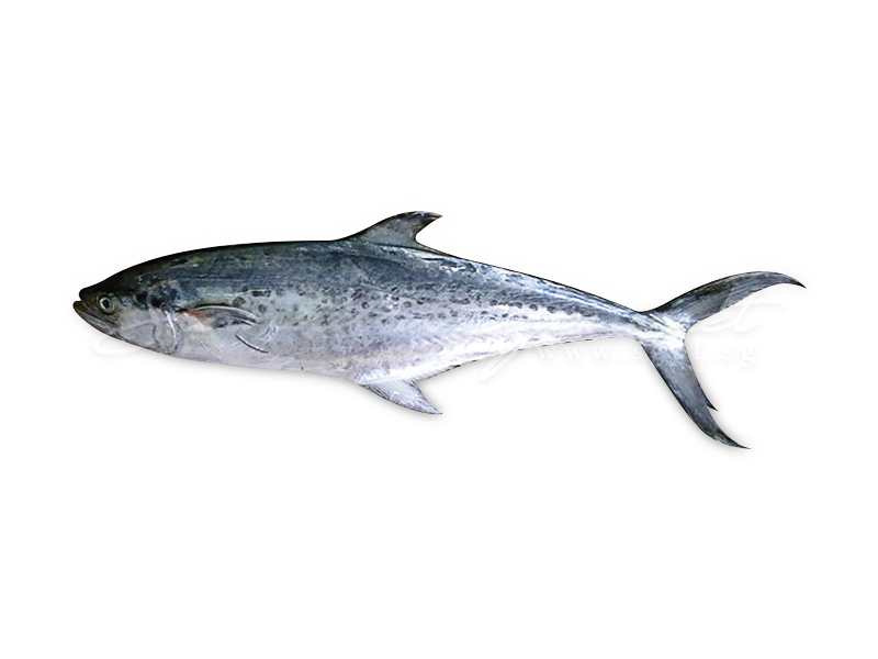 Spotted Spanish Mackerel
